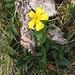 Heliantenum nummularium, Cistaceae