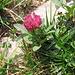 Trifolium alpinum L. Fabaceae  Trifoglio alpino. Trèfle des Alpes. Alpen-Klee.