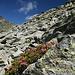 letzte Alpenrosen halten sich
