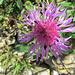 ein wohl letzter Farbtupfer - Flockenblume