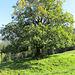 ein prächtiger Baum - noch im Sommerkleid