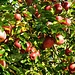 gegenüber...Apfelbäume prallvoll!!