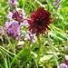 Das Schwarze Kohlröschen (Nigritella nigra), eine Orchidee auf Kalkböden in alpinen Magerrasen
