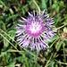 Die letzte Flockenblume für heuer