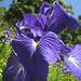 Pyrenäenlillie im botanischen Garten von Gavarnie.