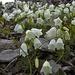 Weisse Glockenblumen