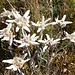 Edelweiss am Gipfel.