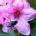 Alpenrosen und eine Fliege