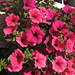 Prächtiger Blumenschmuck Anfang Oktober und das auf fast 1500 m