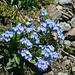 Das Alpen-Vergissmeinnicht (Myosotis alpestris) kommt nicht nur in Zentraleuropa, sondern auch in Gebirgen Asiens und Nordamerikas vor. Hier habe ich die schöne Pflanze auf 3500m gefunden!