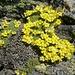 Draba bryoides auf 3500m. Die Pflanze gehört zur Gattung der Felsenblümchen.