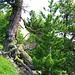 Zauberwald. Die Waldgrenze erreicht hier rekordverdächtige 2400 M.ü.M.