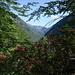Tessiner Bergwald mit Alpenrosen