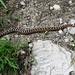Im Tessin öfters anzutreffen: die Aspisviper - eine der beiden Giftschlangenarten der Schweiz