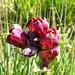 Roter Enzian (Gentiana purpurea)