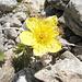 Anemone solforosa? In ogni caso siamo a 3000 metri ad inizio ottobre ed i fiori resistono!
