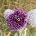 Eine Biene besucht eine Distel