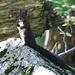 Ein Eicheln sammelndes Eichhörnchen