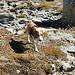 Lexi unsere Beagle-Hündin