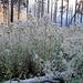 Ara: am Rand des  Waldbrands besonders viel Disteln