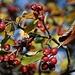 Reife Früchte der Mehlbeere (Sorbus alba) auf dem Chienberg (769m).