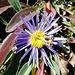 Die letzte Alpenaster, im herbstlichen Bouquet.