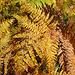 Im Aufstieg zur Blueme: Adlerfarn in Herbstfarben ( Pteridium aquilinum)