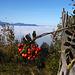 An der Blueme hat es sehr viele Vogelbeerbäume (Sorbus aucuparia)