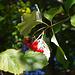 Am Wegrand der Gemeine Schneeball (Viburnum opulus)