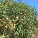Dank dem milden Klima in dieser Südflanke wächst die Stechpalme (Ilex) hier zu richtigen Bäumen aus.