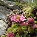 Semprevivo montano (Sempervivum montanum) , GRAZIE ANNA! :-)