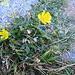 Ranunculus Montanum, Ranunculaceae  ??