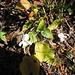 Viola calcarata, Violaceae<br />Viola con sperone, varietà bianca<br />Langgesporntes Veilchen