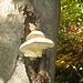Pochi funghi quest'autunno, ma qualcuno c'è.