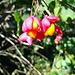 Samen des Pfaffenhütchens, eine giftige Pflanze