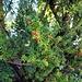 Die roten Früchte der Eibe an der Schlossmauer von Esting.<br /> Die gesamte Pflanze ist äußerst giftig<br />