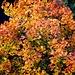 Herbstliche Pracht eines Ahorns