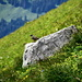 Accenteur alpin peu farouche au Dreispitz