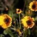 Wüstenblumen, Südafrika