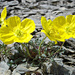 esemplari di Papaver rhaeticum (Papavero alpino giallo) ripresi nei pressi del Lej da la Pischa.