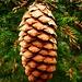 Zapfen einer Gemeine Fichte (Picea abies). Interessanterweise wachsen die Zapfen an den Bäumen im hinteren Val Nalps schon an den bodennahen Äste.