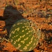Wüstenkürbis, Gemsbok NP, Südafrika