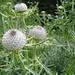 nochmals Wollkopf-Kratzdistel (Cirsium eriophorum) in geselliger Staudenflur