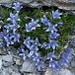 Mont-Cenis-Glockenblume - eine seltene Bergblume