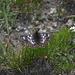 Hier landete ein besonders schönes Exemplar des Männchens des Veilchen-Scheckenfalters (Euphydryas cynthia) direkt auf einer Blume zu meinen Füssen. Aufnahmeort: Chleini Öügstchumma