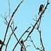 Fichten-Kreuzschnäbel (Männchen l. und Weibchen r.)