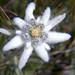 Edelweiss, Leontopodium Alpinum