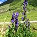 Geschützt und giftig - Blauer Eisenhut, Aconitum napellus