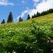 Prairie recouverte d'anémones à fleurs de narcisse (Anemone narcissifolia)