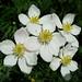 Anémones à fleurs de narcisse (Anemone narcissifolia)